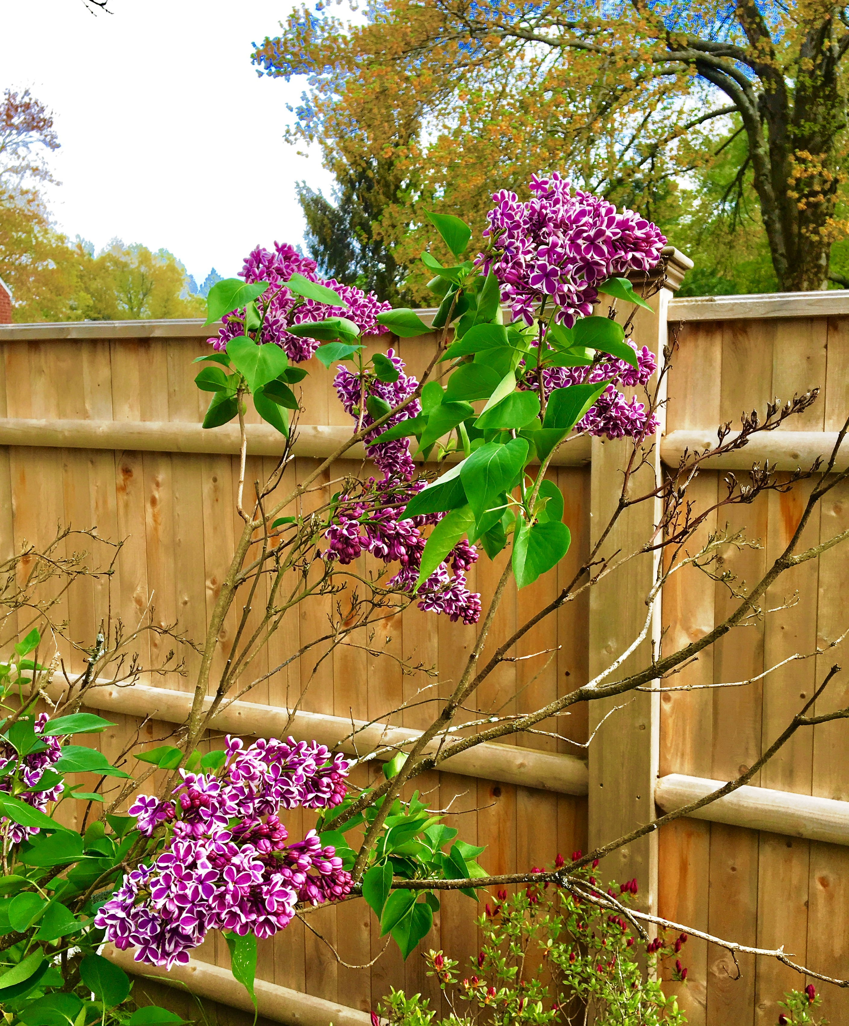 Lilacs in our back yard.jpg